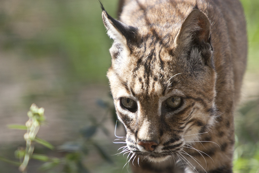 PHOTO: Animal-welfare organizations are urging Gov. Bruce Rauner to veto a bill that would allow  bobcat-hunting in Illinois for the first time in four decades. Photo courtesy Humane Society of the United States.