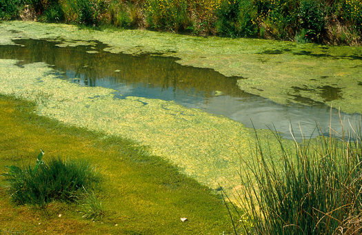 PHOTO: With warm temperatures and plenty of sunlight, summer is prime time for the spread of blue-green algae that can threaten the health of Indiana's lakes and reservoirs. Photo credit: Willem van Aken, CSIRO/Wikimedia.