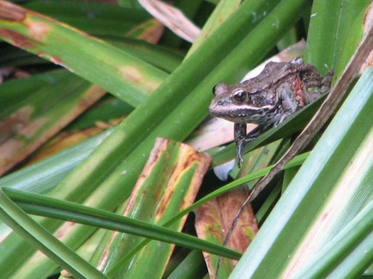 PHOTO: The California red-legged frog is at the center of a controversy at Sharp Park Golf Course in Pacifica, which now is the subject of a lawsuit. Photo courtesy of Wild Equity Institute.