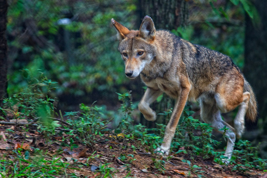 PHOTO: Conservation groups are condemning the killing of a critically endangered female red wolf in the Red Wolf Recovery Area of eastern North Carolina. Photo credit: Jim Liestman/Flickr.