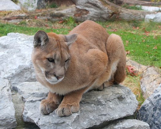 More than 200 cougars a year are killed by hunters in Washington. Animal rights' organizations are asking the state Fish and Wildlife Commission to change its recent decision to increase the cougar quota in some hunting units. Credit: Wikimedia Commons.