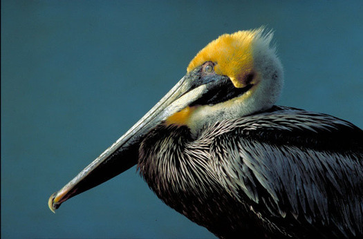 Pelicans and many other species suffered in the 2005 BP oil spill. Credit: U.S. Dept. of the Interior.