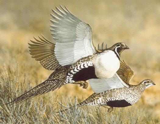 A new survey shows a majority of voters of all political stripes like the idea of preserving sagebrush landscapes where Greater sage-grouse reside. Credit: U.S. Forest Service.