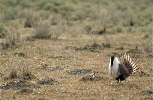 A new survey shows a majority of voters of all political stripes like the idea of preserving sagebrush landscapes where greater sage-grouse reside. Credit: Thomas G. Barnes/U.S. Fish and Wildlife Service.