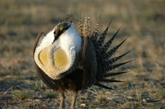 PHOTO: A new survey shows a majority of voters of all political stripes like the idea of preserving sagebrush landscapes where greater sage-grouse reside. Photo courtesy U.S. Fish and Wildlife Service.