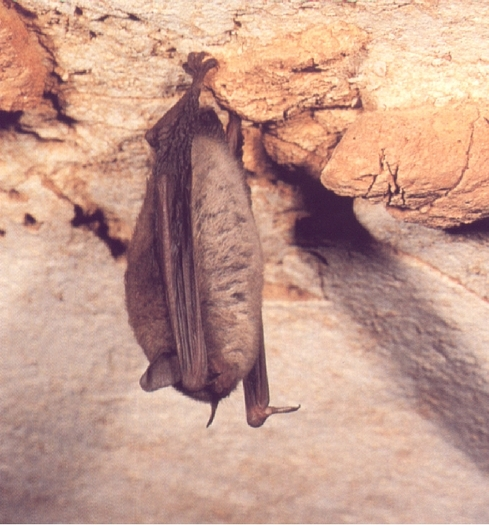 Thumbs up to the Endangered Species Act says new poll. Credit: John MacGregor/ Kentucky Bat Working Group.
