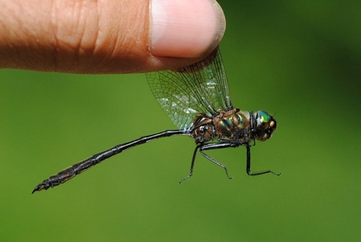 A rare dragonlfy is being released into the wild in Illinois. Credit: Mike Ostrowski/Wikimedia