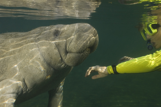The public can weigh in this week on proposed restrictions on tourists swimming with endangered manatees at Crystal River National Wildlife Refuge in Citrus County. Credit: Durden Images/iStockphoto.com.