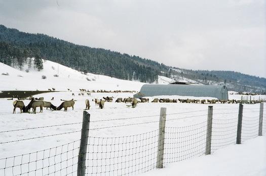 Thousands of elk in western Wyoming feeding on hay and alfalfa pellets. The practice is being debated. Credit: Lloyd Dorsey.