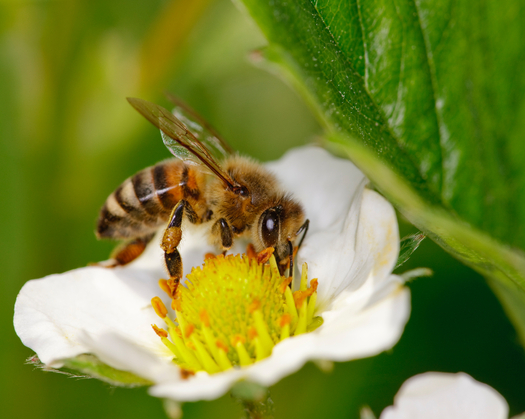 It's too risky to expose bees like this one to the pesticide sulfoxaflor; a federal appeals court decided the EPA's approval was based on flawed studies. Credit:proxymider/iStock
