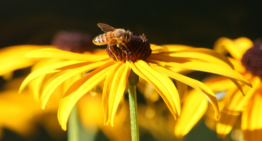 The EPA erred in allowing a bee-killing pesticide, sulfoxaflor, on the market, according to the Ninth Circuit Court of Appeals. Credit: Deborah C. Smith.