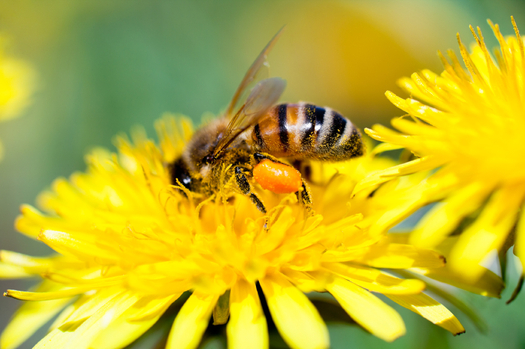 A panel of federal judges overturned the EPA's approval of a bee-killing pesticide. Credit: alexandrmagurean/iStock