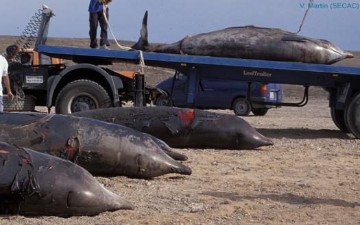 The Navy has agreed to limit sonar use to protect marine mammals from disorientation and harm. These whales beached themselves in the Canary Islands. Credit: Vidal Martin, Sociedad para el Estudio de los Cet�ceos en el Archipelago Canarias