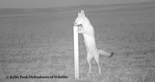 The swift fox, tiniest fox in North America at 5 pounds, is thought to have made a comeback in Montana based on images like this from remote wildlife cameras. Credit: Kylie Paul/Defenders of Wildlife