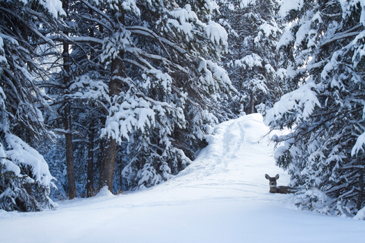 Arizona scientists say evidence from tree rings proves the 2015 snowpack in the Sierra Nevada Mountains was the worst in 500 years. Credit: nickpedersen/iStockphoto