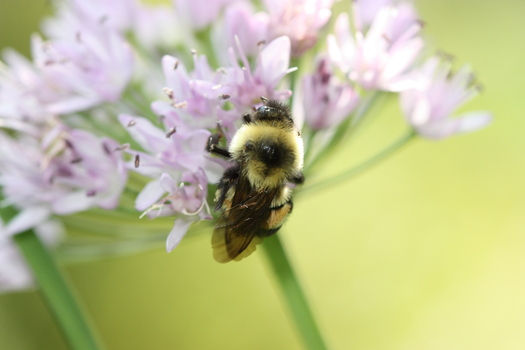 The rusty patched bumble bee used to be common in parts of the state, but has seen its population plummet in recent years. Credit: Sarina Jepsen/The Xerces Society
