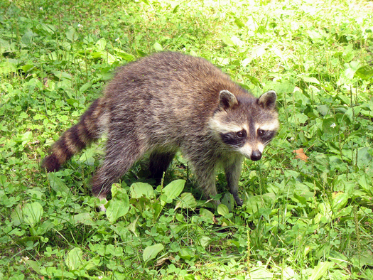 The Tennessee Department of Health and the USDA are working together to distribute rabies vaccination packets for raccoons over the next couple of weeks in parts of Tennessee. Credit: ciconroy/morguefile.com