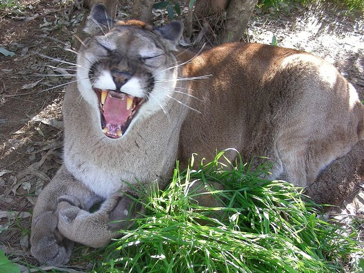 An American dentist won't be prosecuted in Zimbabwe for killing Cecil the lion, but a poll indicates that outrage over the incident is prompting two-thirds of U.S. voters to reject trophy hunting, including against mountain lions in Utah. Courtesy: HSUS