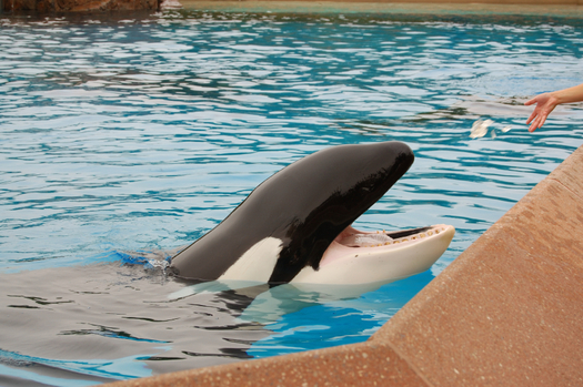 There are mixed reactions in the animal rights community about SeaWorld San Diego's decision to change its orca shows by next year. Credit: Stacey Newman/iStockphoto.