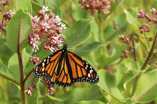 Fort Worth community organizations, volunteers and environmentalists are launching a pilot project to help pollinators essential to the nation's food supply. Credit: Cmackenz/iStockphoto