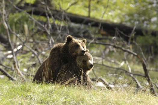 Mother and cub grizzly bears. Credit: Sierra Club