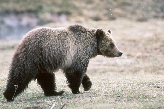 Grizzly bear. Credit: Kim Keating/U.S. Geological Survey