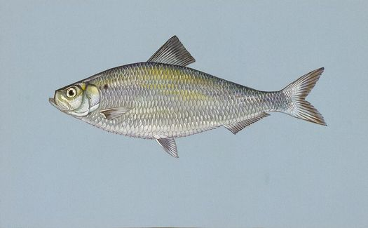 The alewife is an important part of the marine food chain. Credit: Duane Raver, U.S. Fish and Wildlife/Wikimedia Commons