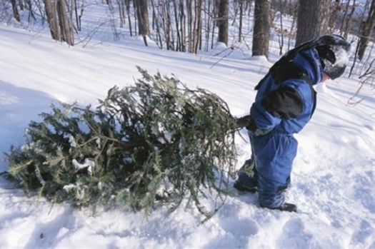Selecting a tree from one of Iowa's 100 choose-and-harvest farms can involve even the youngest family member. Courtesy: Iowa Christmas Tree Growers Assn.
