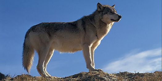 Wildlife advocacy groups give California's new draft Gray Wolf Conservation Plan mixed reviews.
