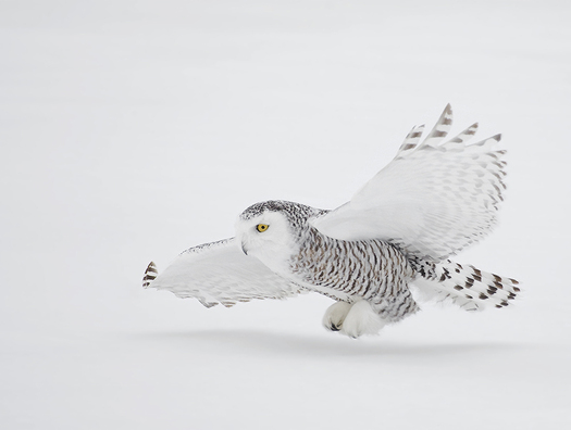 A new Senate wilderness bill (S. 2341) would protect arctic habitat for wildlife including migratory birds such as the snowy white owl, which sometimes winter in the Granite State. Credit: NaturesPhotoAdventures