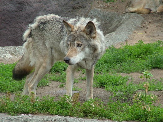 Three groups are asking that wolves be returned to Oregon's Endangered Species list. (jak/morguefile)