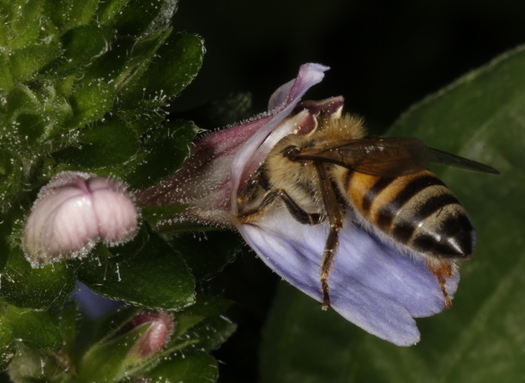 Wild bee habitat is on the decline in many of the country's most important farmlands, according to a new report. (Derek Keats/Wikimedia Commons)