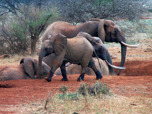 Animal rights groups are protesting a plan to bring 18 elephants threatened by drought to zoos in the U.S. instead of relocating them in Africa. (biberty/morguefile)