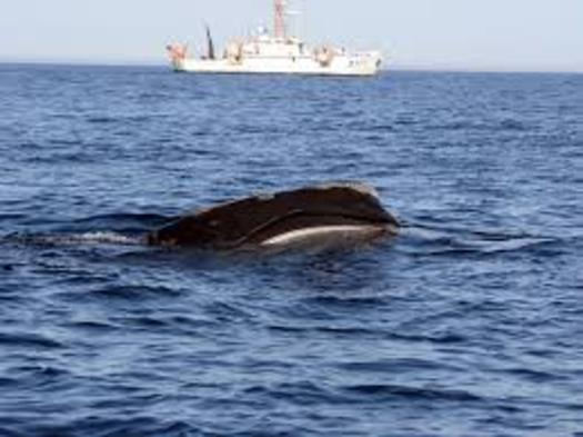 Action by the National Marie Fisheries Service will expand protected waters in the North Atlantic for the right whale, which is more endangered than Siberian tigers or pandas. (NMFS/NOAA)