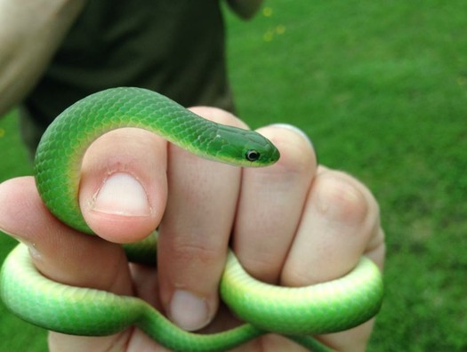 The smooth green snake is a tiny nonvenomous snake found in Indiana. It's getting extra attention from conservation groups in the Midwest because its habitat is threatened. (Chicago Wilderness)