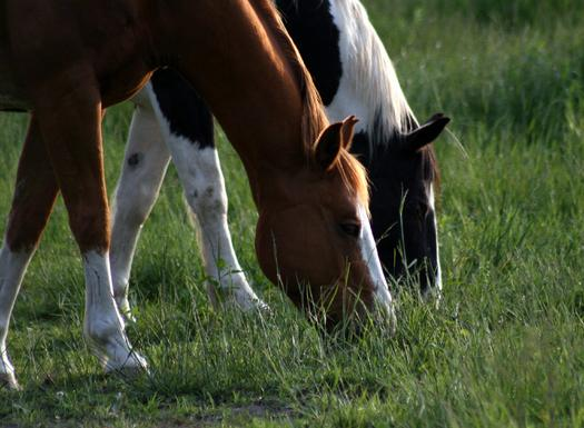 A New Mexico judge's order has blocked a Roswell company from opening a horse slaughterhouse. (sgarton/morguefile)
