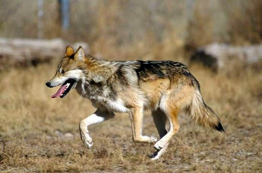 Officials with the U.S. Fish and Wildlife Service officials say two endangered Mexican wolves died in January during annual capture-and-count operations. (Wikimedia Commons)