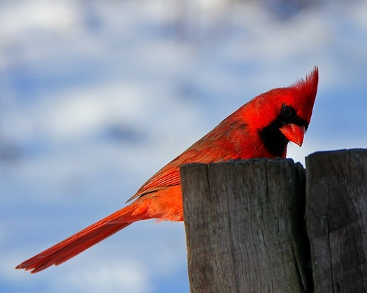 Ohio's state bird, the cardinal, is the most commonly spotted bird in the Great Backyard Bird Count. (Lip Kee/Flickr)