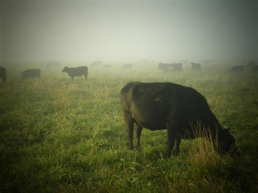 Organically-raised cattle produce meat with more omega-3 fatty acids, a compound linked to lowered risks of cardiovascular disease. (wiselywoven/morguefile)