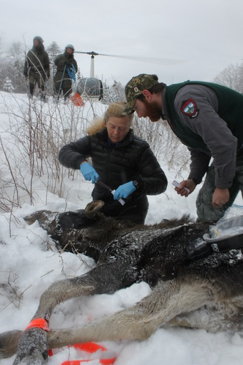 Maine and New Hampshire are working together, taking biological samples and using GPS tracking collars to study the survival rate of moose in both states. (Ashley Malinowski)