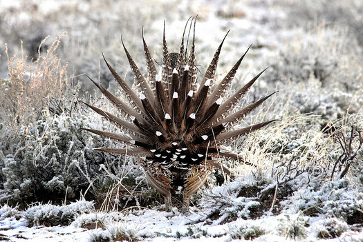 Conservation groups are suing federal agencies for better protections for the greater sage-grouse. (USFWS)
