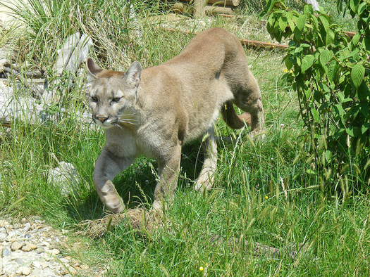 Cougars are an endangered species in Michigan. (Marie Hale/Flickr)