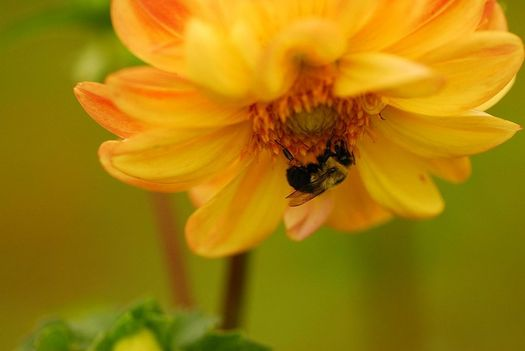 Pollinator species worldwide are under threat of extinction due to human activity, according to a new report. (Andrea Westmoreland/Wikimedia Commons)