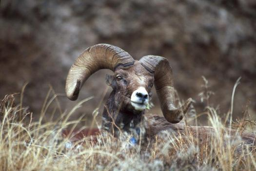 A federal judge upheld a U.S. Forest Service decision to restrict domestic sheep grazing in order to protect wild bighorn sheep from disease. (Craig Gehrke/The Wilderness Society)