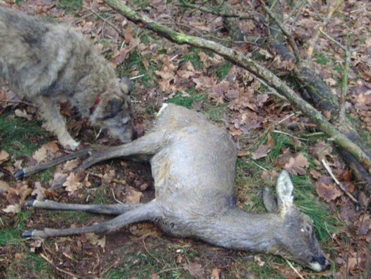 """A new bill puts no limits on how much """"canned hunting"""" can take place in Indiana. (Badger Rose)"""