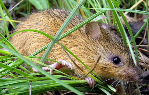 The U.S. Fish and Wildlife Service has designed almost 14,000 acres in New Mexico, Arizona and Colorado as critical habitat as for the endangered New Mexico meadow jumping mouse. (USFWS)