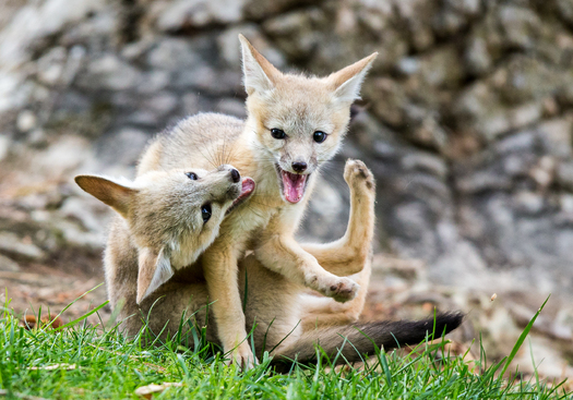 The San Joaquin kit fox is one species threatened by the Panoche Valley Solar Project, according to a new lawsuit filed against the state by environmental groups. (Rick Deveran)