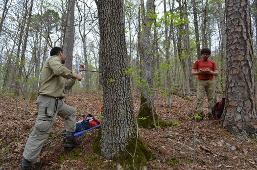 The Ozarks are providing researchers a good mix of conifer and deciduous trees to study the effects of warming temperatures on forests. Here, they're checking a white oak. (Columbia University Earth Institute)