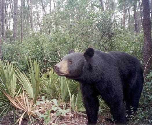 Scientists say despite some headway for the species, habitat loss and population growth continue to threaten the Florida black bear. (Florida Fish and Wildlife Conservation Commission)