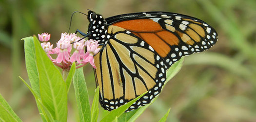 The Monarch butterfly is disappearing but home gardeners can help by planting milkweed, which is its only breeding habitat. (U.S Fish and Wildlife Service)